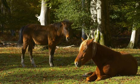 Wild ponies resting in the New Forest