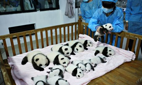 Giant panda cubs at Chengdu