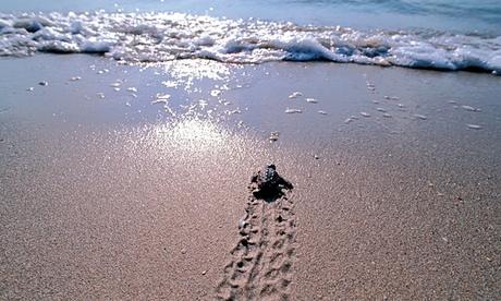 Loggerhead turtle hatchling makes for the sea