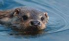 otter swimming - Islay