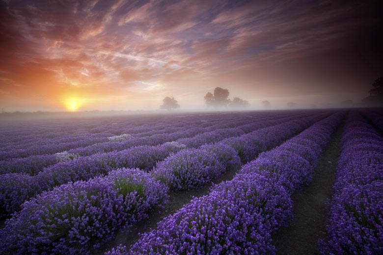Day breaking over a misty lavender field in Faulkland, Somerse