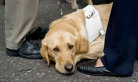 A guide dog on the Hardest Hit march in London