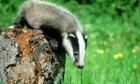 A young European Badger (Meles meles)