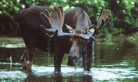 A moose wades in a New England stream