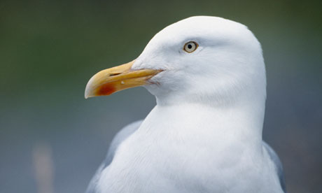Controversial herring gull cull gets green light