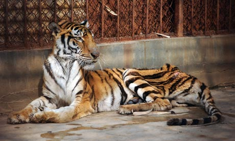 POLL: Should China's shameful tiger farms be closed down?