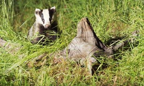 Badger cull has killed less than half the number of animals intended