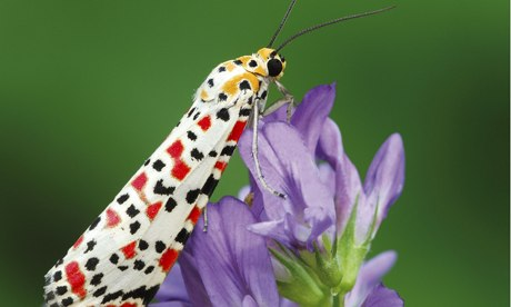 Exotic migrant moths invade Britain under cover of darkness