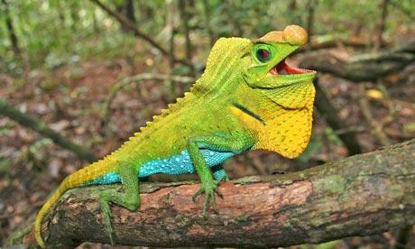 reptiles species lizard reptile threatened extinction endangered iucn scutatus ameiva ruchira jungle vittata which another zsl photograph five faces environment