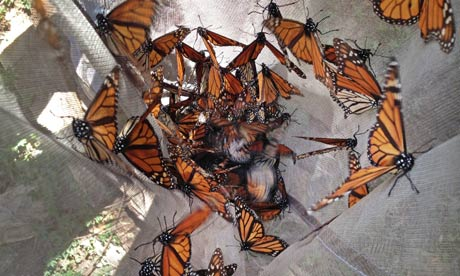 Monarch butterflies are collected at El Capulin reserve, near Zitacuaro, Mexico.