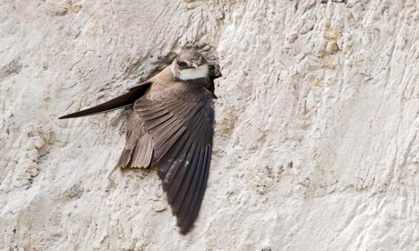 Sand martins dig tunnels in the dunes