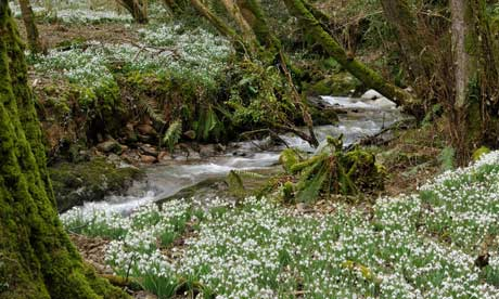 Woodland stream with carpet of Snowdrops - Galanthus nivalis Snowdrop Valley, Exmoor, Somerset