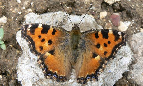 On the trail of the large tortoiseshell, the UK's most elusive butterfly