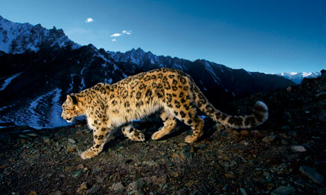 Snow leopards and wild yaks becoming 'fashion victims'