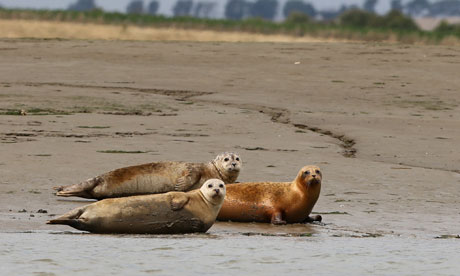 More than 700 seals counted in Thames Estuary