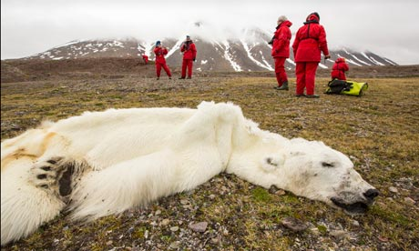 Starved polar bear perished due to record sea-ice melt