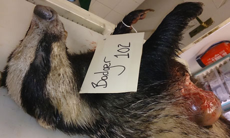 Badger cull: first graphic photo of shot animal emerges