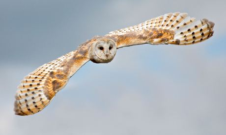 Barn owls suffer worst year on record