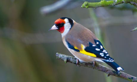 A goldfinch in Northumberland