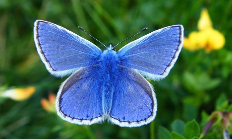 Grassland butterflies in rapid decline in Europe