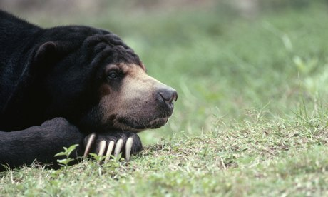 Sun bear sanctuary to save 'forgotten species'