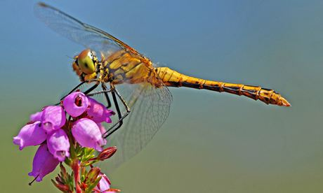 UK dragonfly numbers may be down after wet winter, conservationists warn