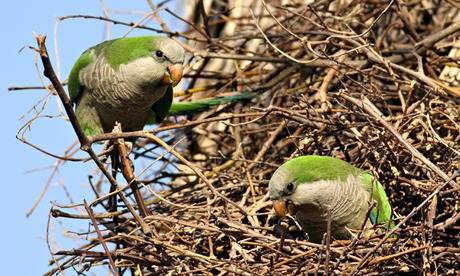 POLL: Should the Monk Parakeet be eradicated in the UK?