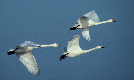 Bewick swans in flight