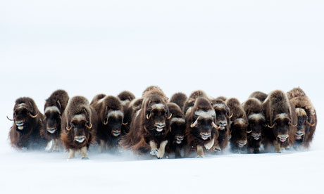 2011 Wildlife Photographer of the Year. Mammals behaviour: The charge by Eric Pierre