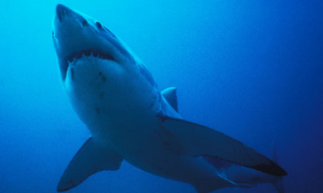 Shark tourism expected to double as fishing value declines