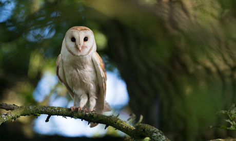 Britain's barn owls under threat due to extreme weather