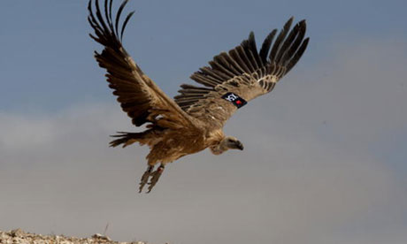 Photograph AP A Vulture Fitted With GPS Tracker Was Captured In Western Sudan After Officials Believed It Spying For The Israeli Security Services