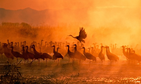 Sandhill cranes descend on the plains of the US midwest