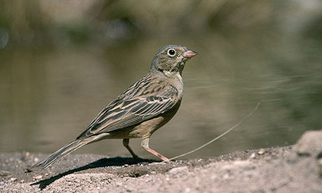 French poachers continue the mass slaughter of Ortolan Buntings
