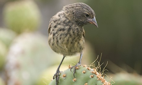 Galápagos finches that inspired Darwin under threat from parasitical flies