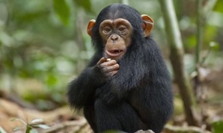 Chimpanzee Film The Guardian