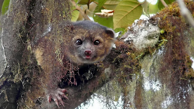 the adorable olinguito // Teddy bear carnivore emerges from the mists of Ecuador