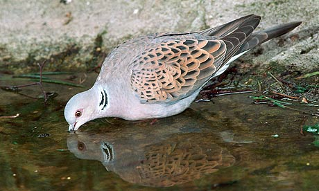 Turtle Dove Drinks from Puddle