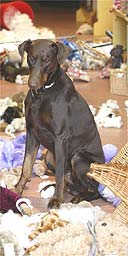 Barney the doberman guard dog stands over the remains the soft toys he mauled. Photograph: Jon Mills/SWNS