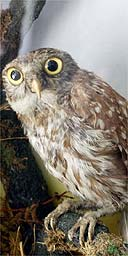 A Stuffed Owl Photograph Frank Baron