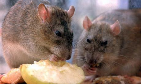 cambodians eat rats  beat global food crisis world
