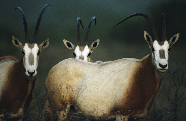 http://static.guim.co.uk/sys-images/Guardian/Pix/pictures/2009/10/21/1256127718759/Scimitar-horned-Oryx-003.jpg
