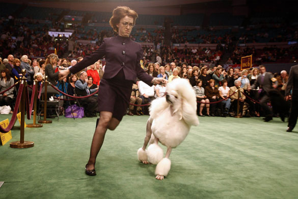 133rd Westminster Kennel Club dog show photos | World news ...
