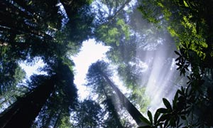 King of the forest: Sun Breaking through Redwood Canopy