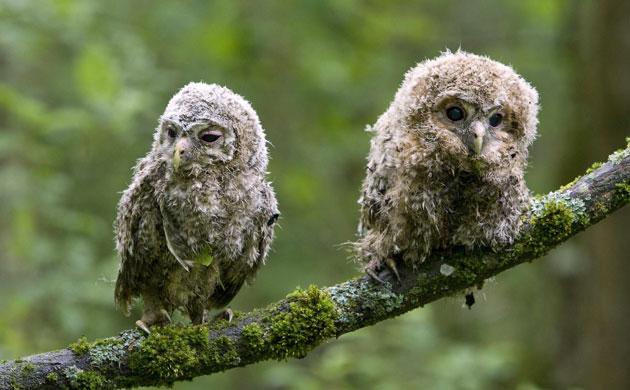 Tawny-owl-chicks-sit-on-a-008.jpg