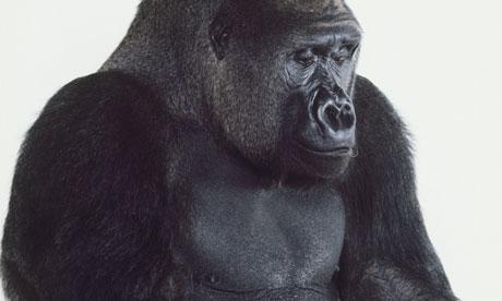 how big is a gorilla dick