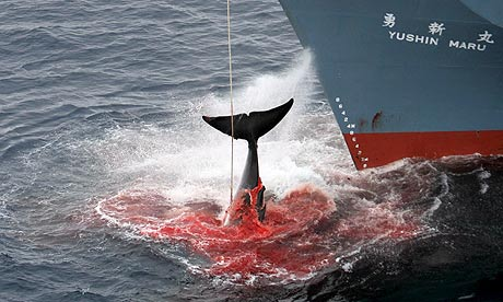 http://static.guim.co.uk/sys-images/Guardian/Pix/pictures/2010/6/21/1277126612747/Japanese-Whaling--006.jpg