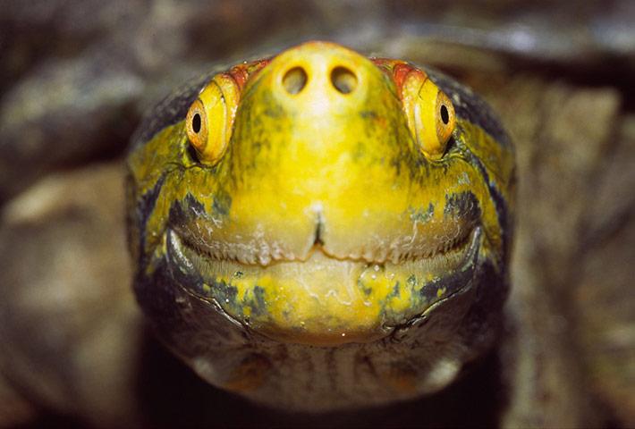 Red-crowned-River-Turtle--022.jpg