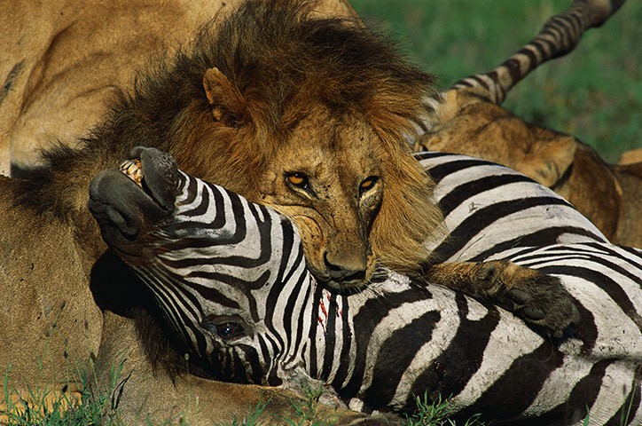 zebras and lions - photo #13
