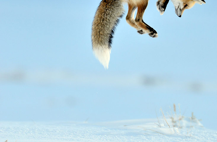 Fox-Pouncing-on-a-Mouse-L-008.jpg